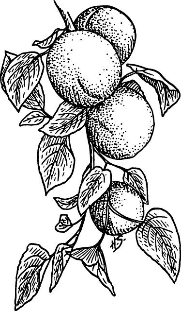 Dessin-abricots-MDA
